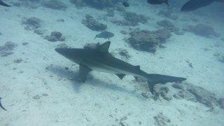 Requin des Galapagos – Plongée Equateur