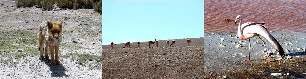 Faune du Sud Lipez – Bolivie