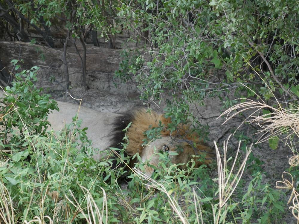 Lion en train de dormir sous un buisson à Savuti, Botswana