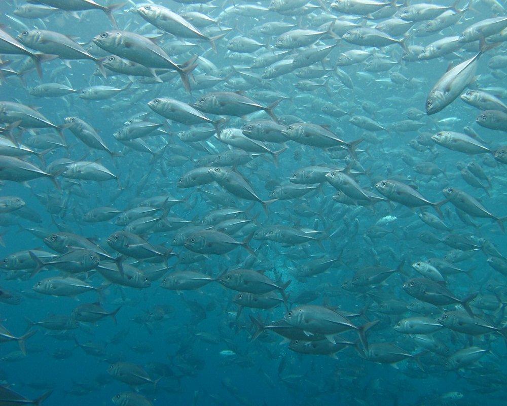Banc de thons – Plongée Galapagos