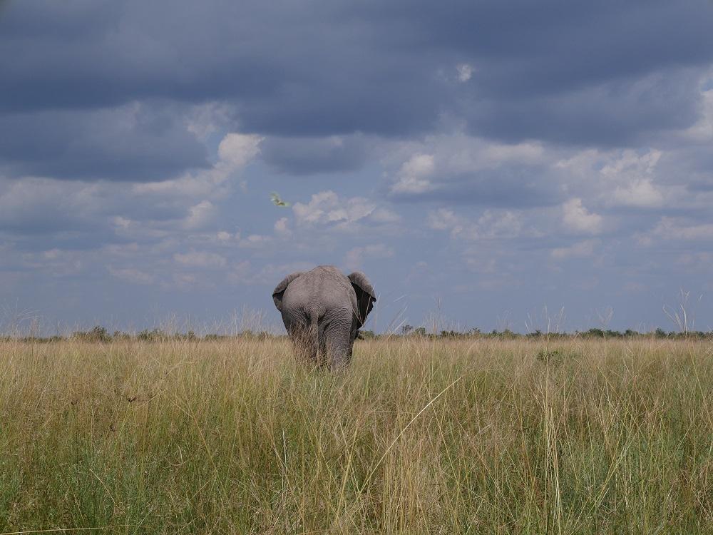 Eléphant dans la brousse africaine