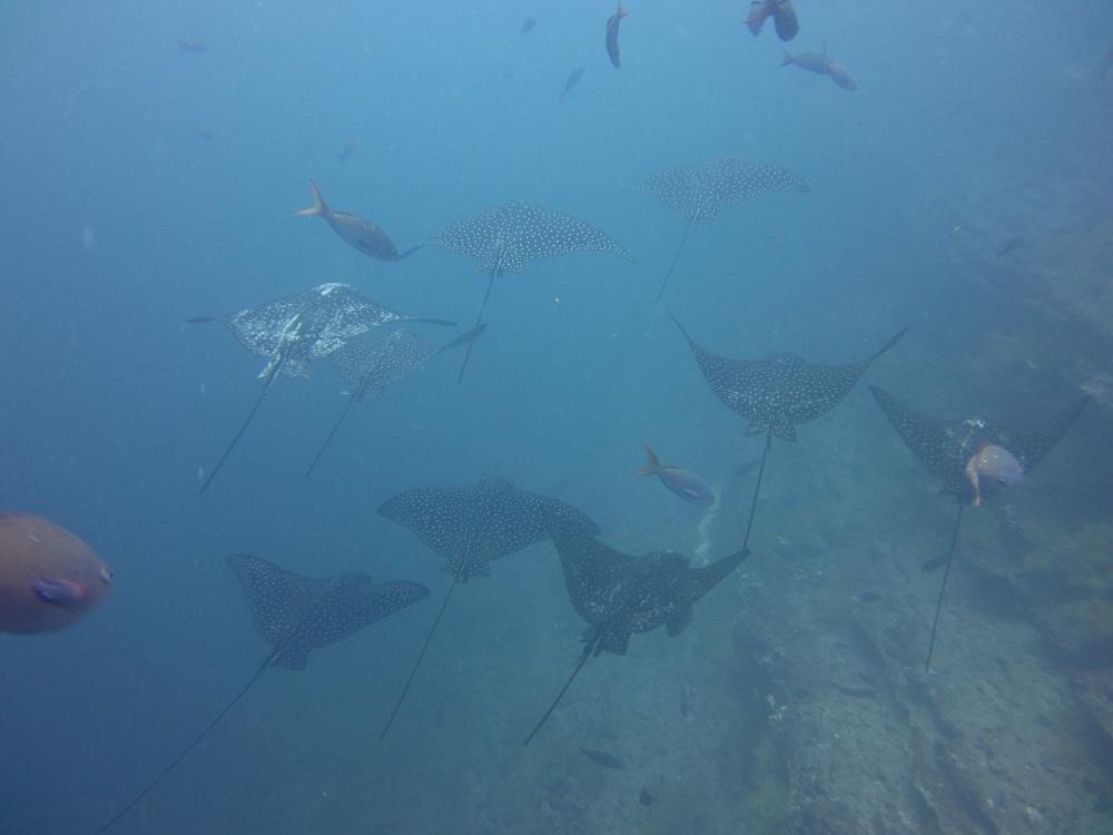 Raies – Plongée Galapagos