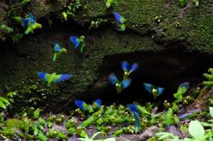 Un peu de plumes d'Amazonie équatorienne