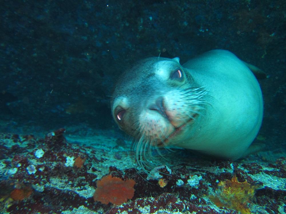 Lion de mer – Plongée Galapagos