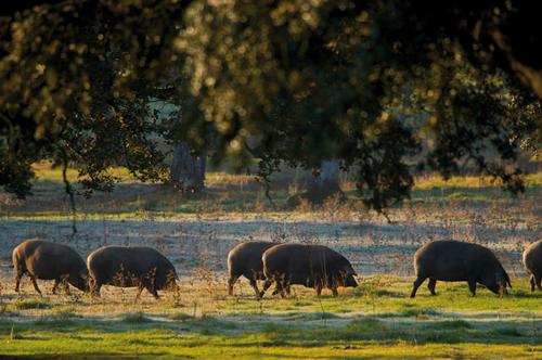 Cochons ibériques