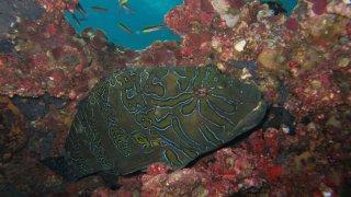 Mérou – Plongée Galapagos