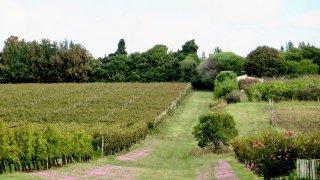 Vignes de la bodega familiale Pizzorno située à une vingtaine de minutes de – Voyage Uruguay