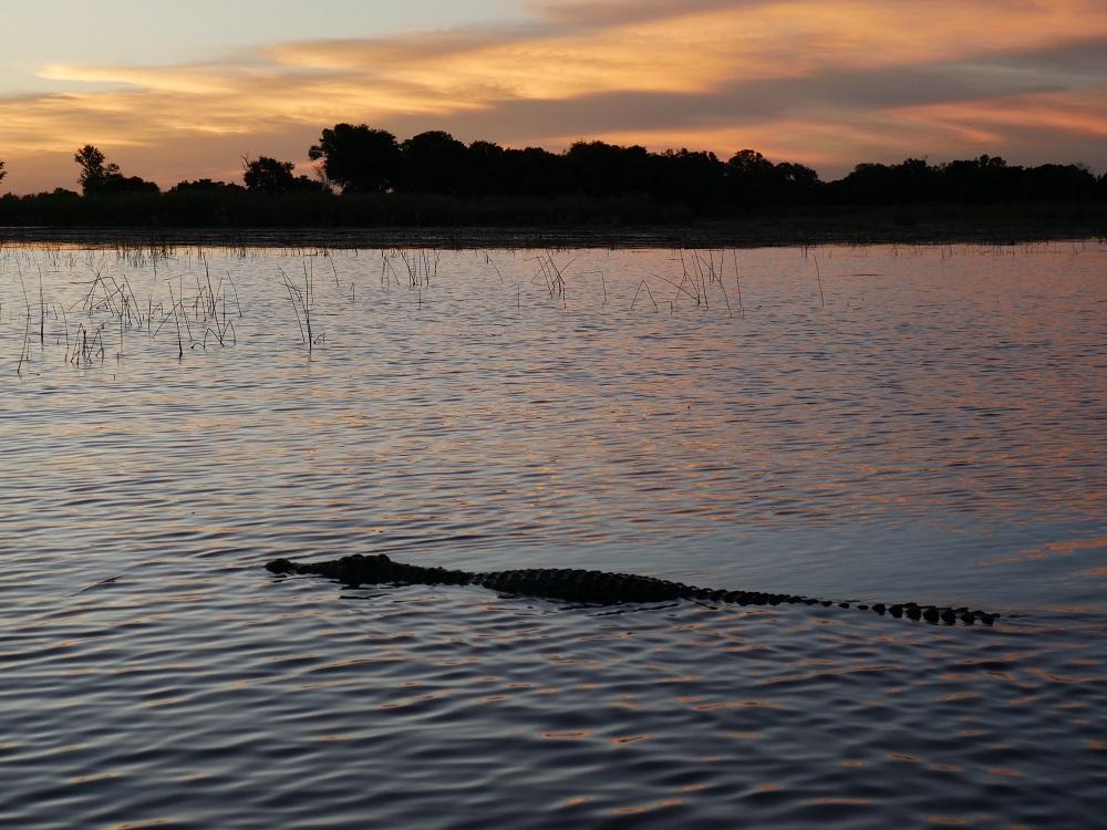 Crocodile au coucher du soleil dans l'Okavango