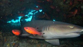 Requin tintorera – Plongée Galapagos
