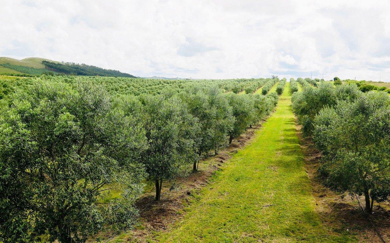 Champs d'oliviers à perte de vue à Salto del Penitente – Minas – Voyage Uruguay