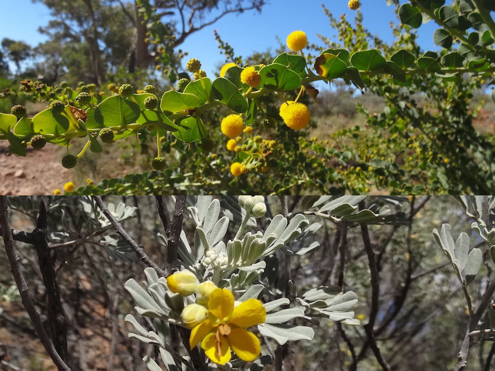 Acacia ; Senna artemisioides – Australie