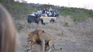Accouplement de lions dans le Sabi Sand
