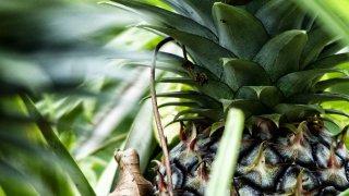 Ananas du Costa Rica