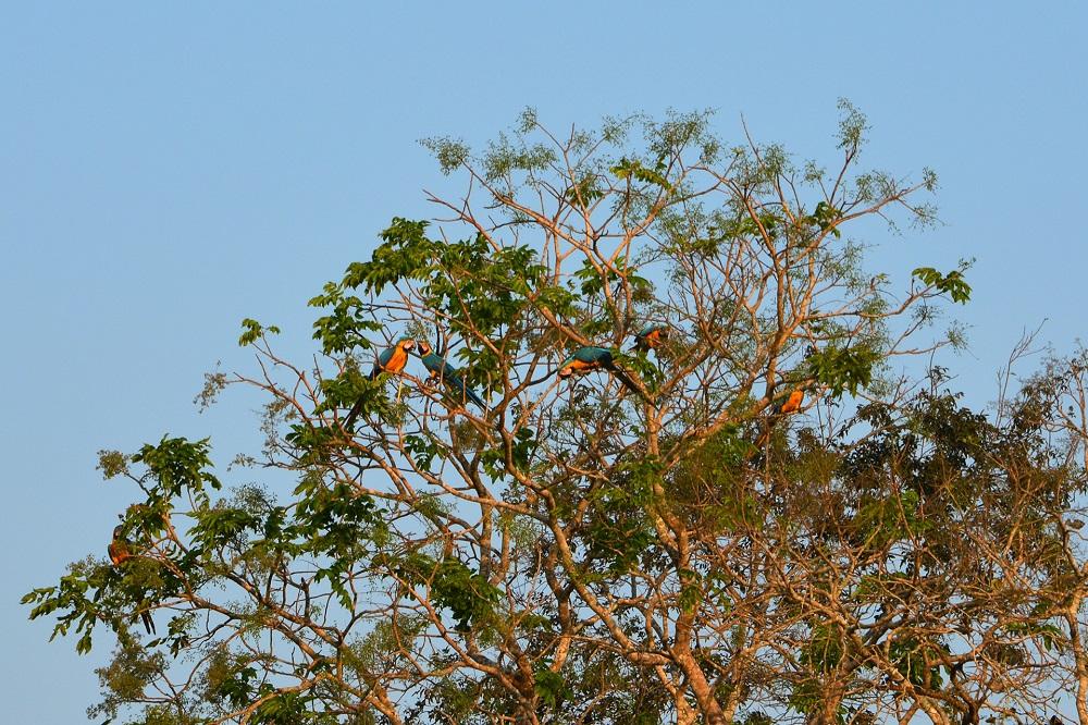 Aras jaune et bleu – Amazonie bolivienne