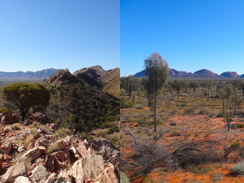 Arbres en crêtes (Ormiston Pound Walk) ; Allocasuarina decaisneana avec Kata-Tjuta en arrière-plan – Australie
