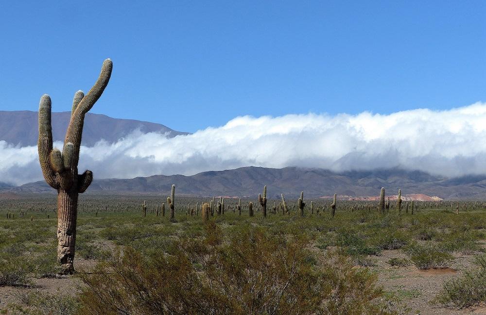 Cactus du Nord-Ouest argentin