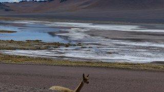 Paso Jama – vigogne