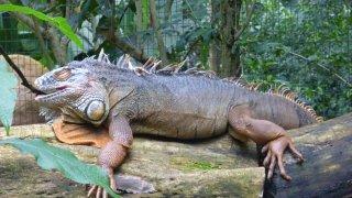 Iguane au Parc National Iguazu, Argentine