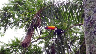 Toucan à Iguazu, Argentine