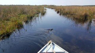 Yacare (caïman)Navigation dans les Esteros del Ibera, Argentine