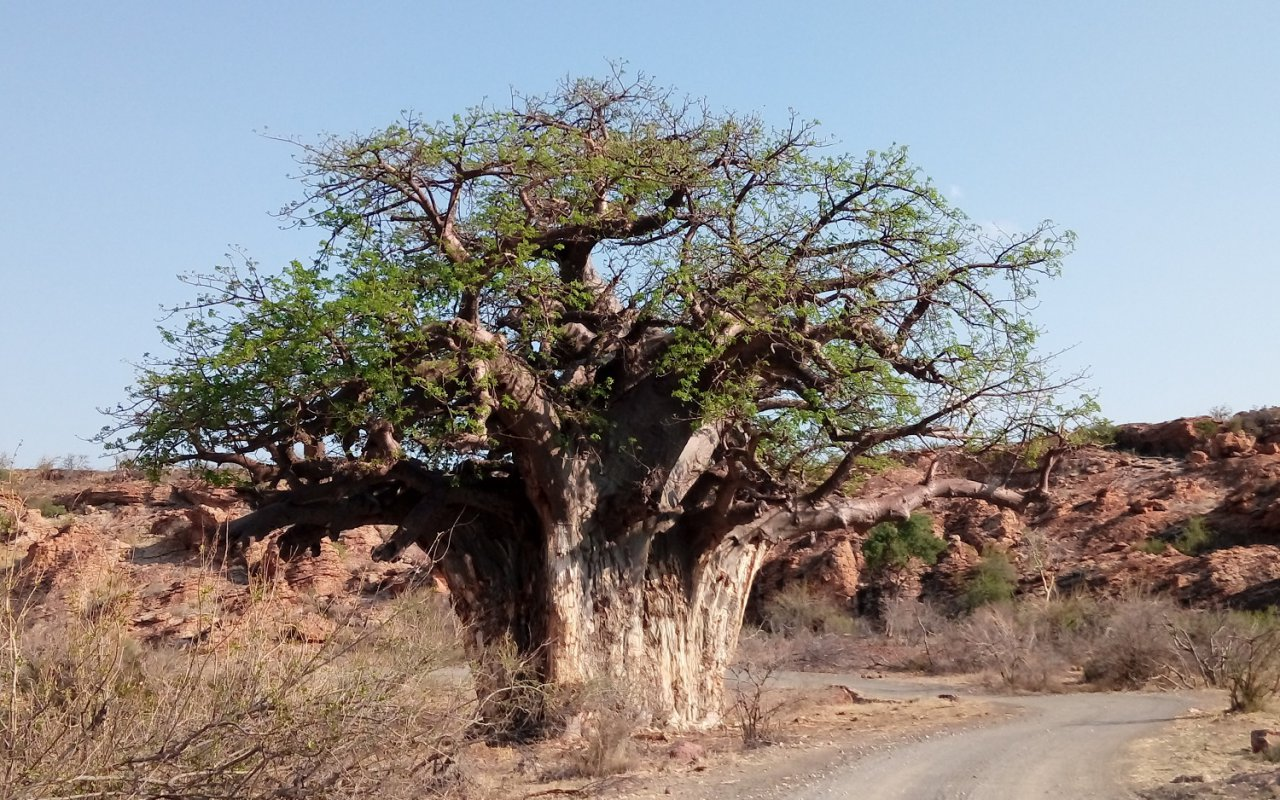 Baobab – Voyage au Limpopo