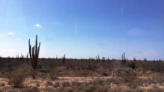 basse californie – cardones (cactus cardon) – mexique