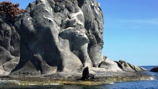 basse californie – lion de mer – mexique