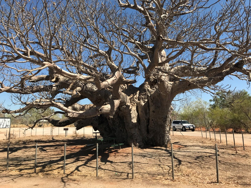 Baobab – Kimberley, voyage australie