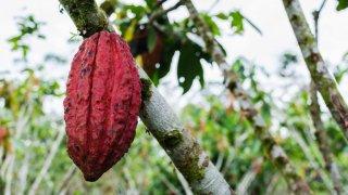 Cabosse de cacao, Equateur