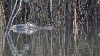 Caïman noir du Rio Napo – Parc Yasuni, Equateur, Amazonie