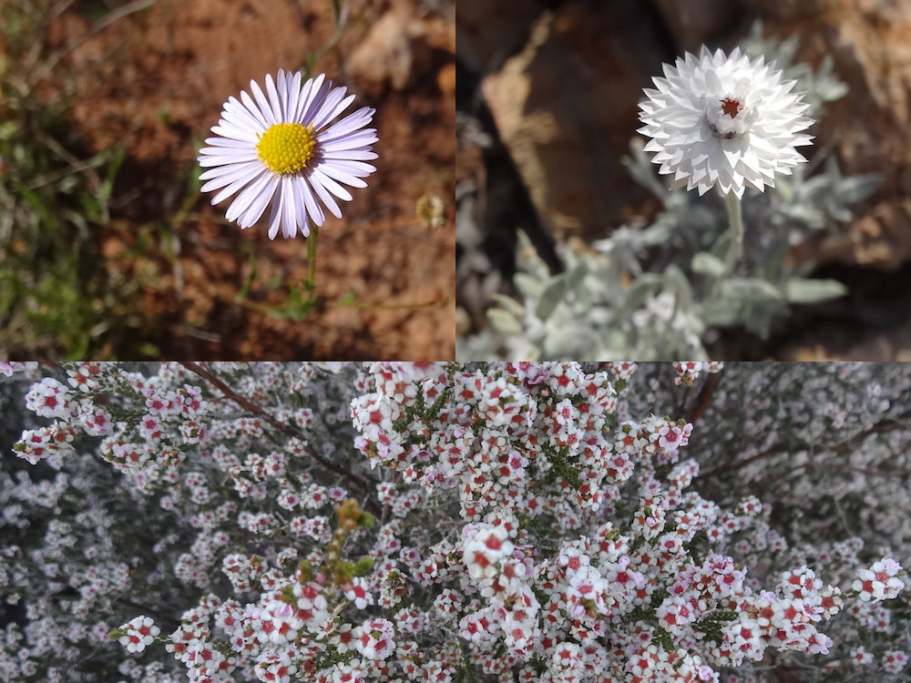 Calotis ; Rhodanthe floribunda ; Baeckea myrtaceae – Australie