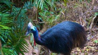 Cassowary d'Australie : mi autruche, mi velociraptor