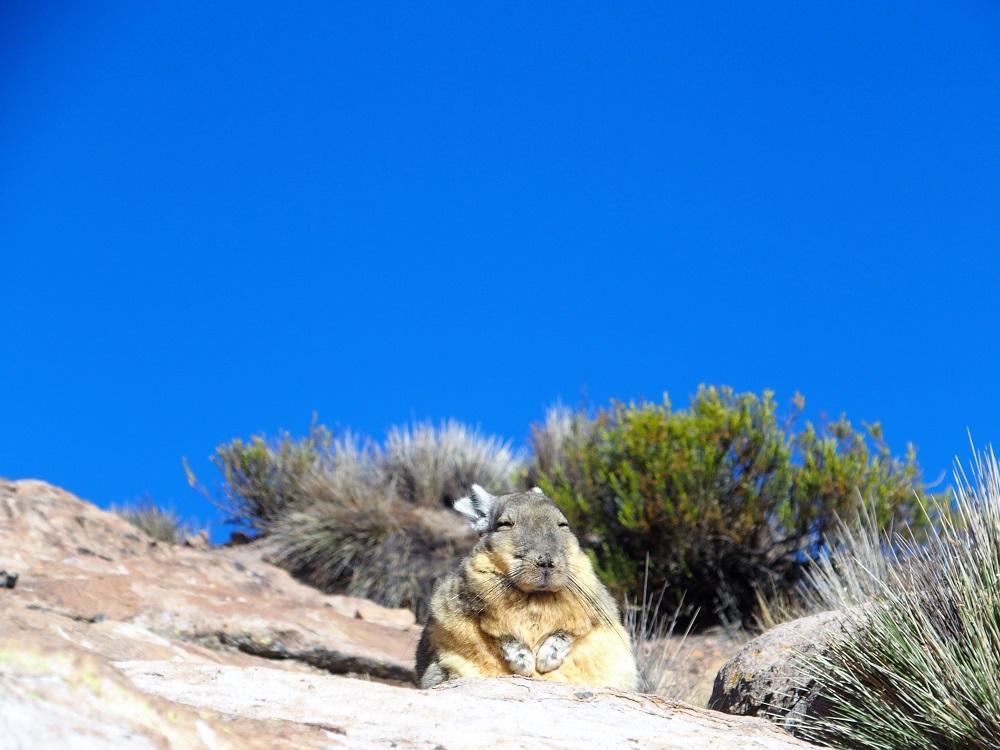 Chili Grand Nord – Méditation matinale d'une viscacha au Bofedal de las Cuevas