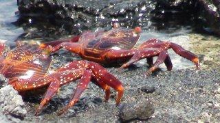 Crabes îles Galapagos