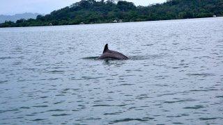 Dauphin – Bocas del Toro – Panama