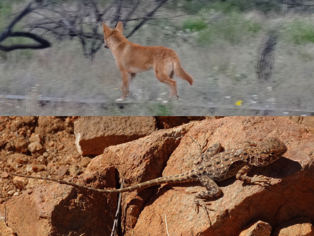 Dingo à l'aube (Kings Canyon) ; Lézard… lézardant au soleil (Ormiston Gorge) – Australie