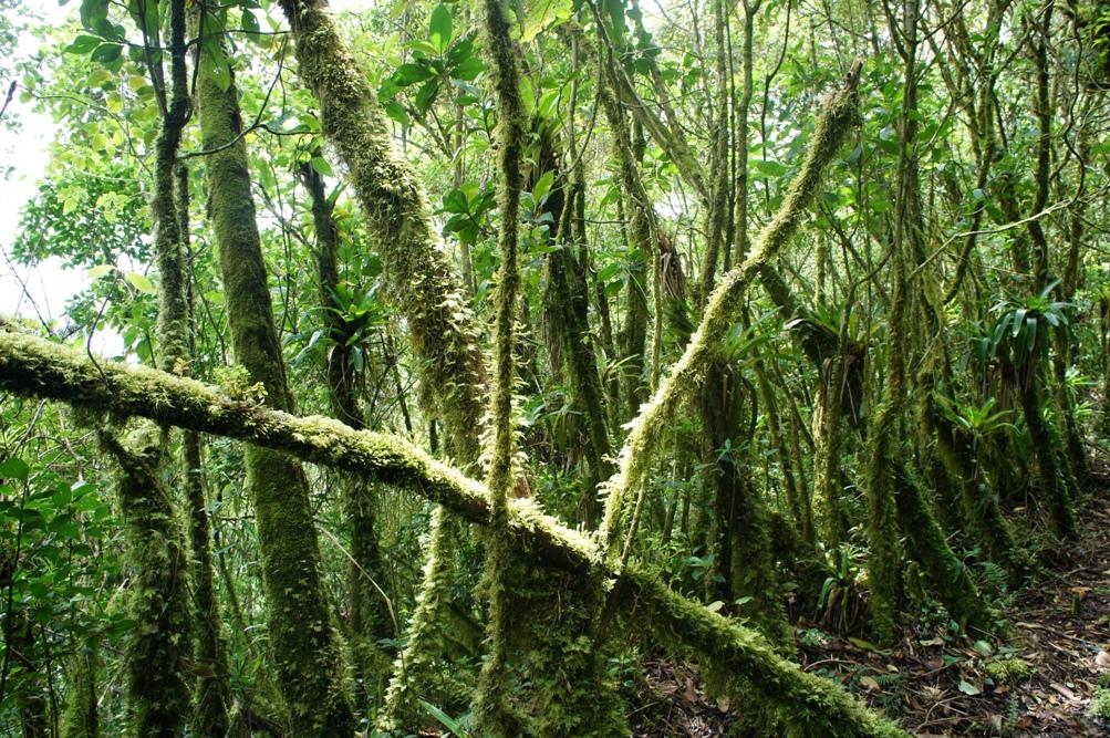 forêt tropicale du Podocarpus Ouest