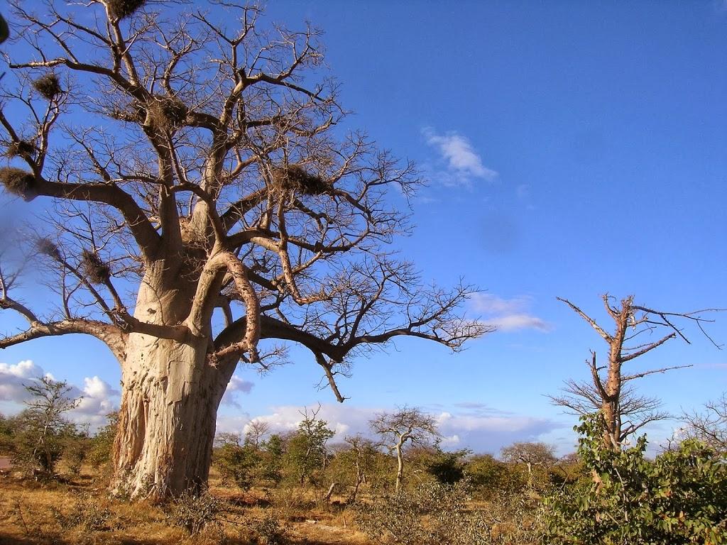 Baobab du Parc Mapungubwe – Afrique du Sud