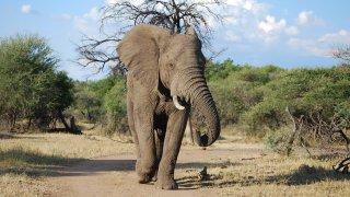 Eléphant mâle au détour d'un virage