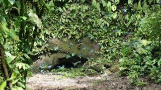 Perroquets – Napo Wildlife Center, Amazonie, Equateur