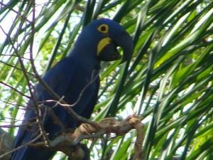 Faune du Pantanal Nord – Brésil