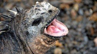Faune sur les îles Galapagos – les iguanes marins