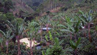Floraison des Cafetales – Costa Rica