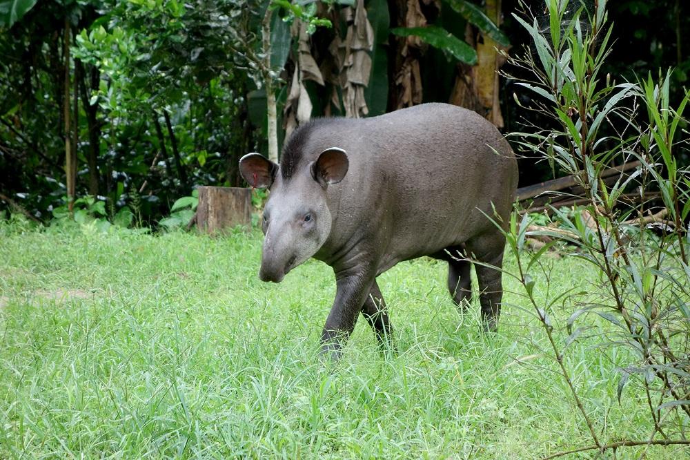 Gabriela le tapir – Amazonie bolivienne