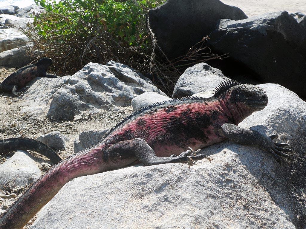 Iguane marin, Galapagos