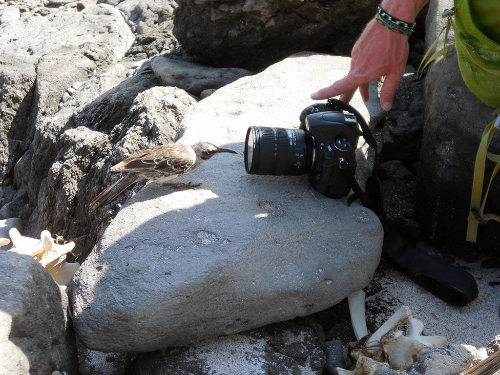 Cucuve curieux aux Galapagos