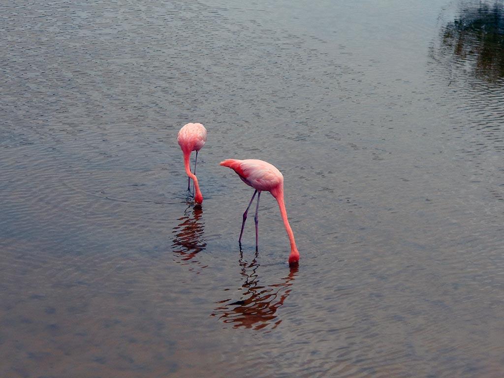 Lagune aux flamants roses, Galapagos