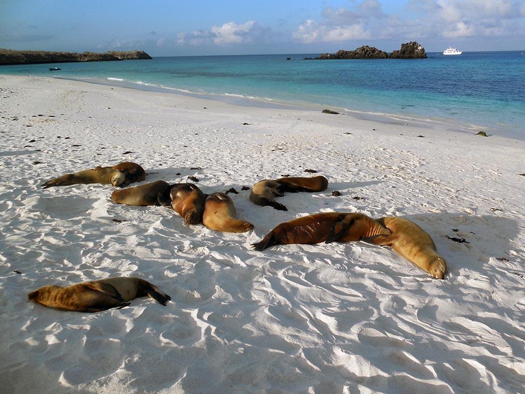 Lobos marinos, Española, Galapagos
