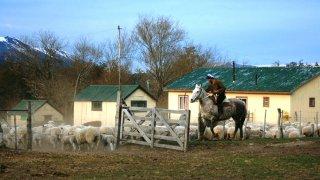 Gaucho qui rassemble son troupeau de moutons – estancia Nibepo Aike, El Calafate, Patagonie argentine