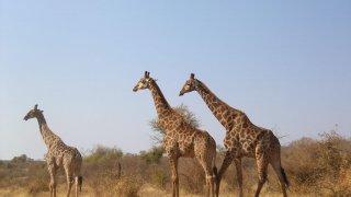 Afrique du Sud : safaris à Madikwe, Marakele et Mapungubwe